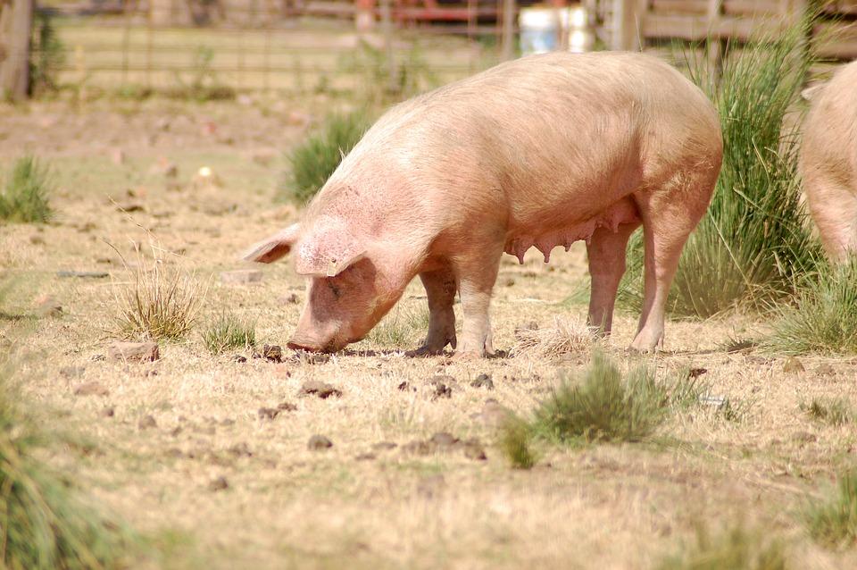 cerdo en granja